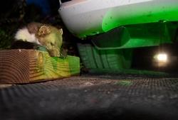 Immer wieder vergreifen sich Marder im Sommer an Bremsschläuchen von Autos. Foto: HUK-COBURG